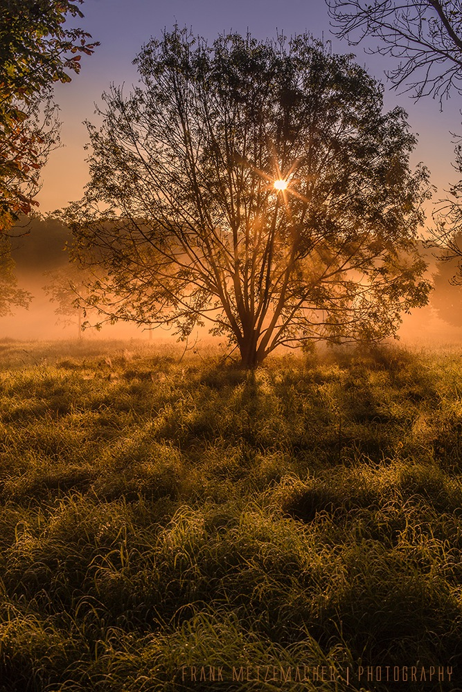 Morning Mist Tree