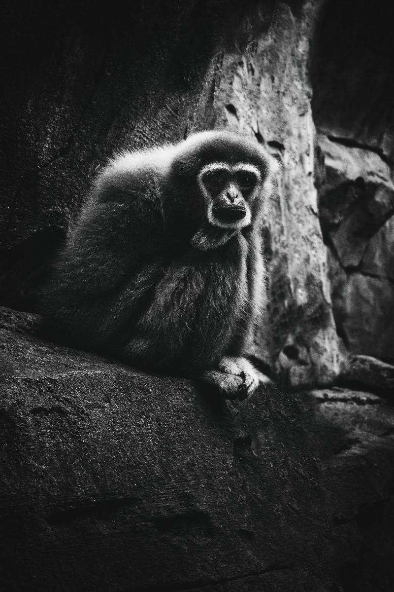 Gibbon Zoo Köln